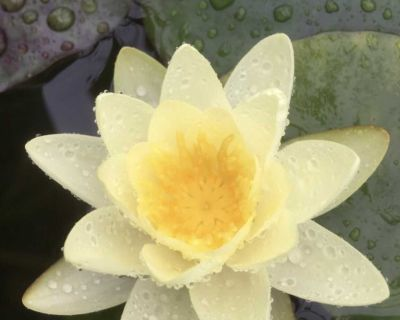Hardy water lily #4