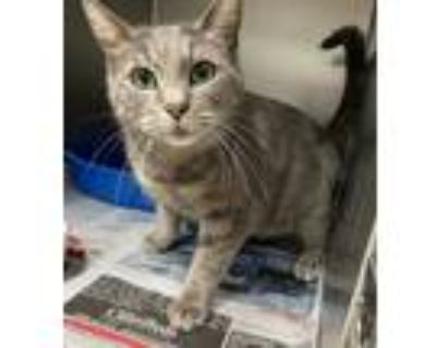 Adopt Tommy Boy a Gray, Blue or Silver Tabby Domestic Shorthair (short coat) cat