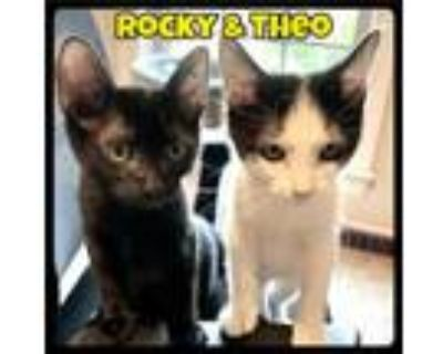 Adopt Rocky & Theo - Foster / 2021 a Domestic Short Hair