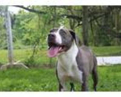 Crystal, Pit Bull Terrier For Adoption In Chestertown, Maryland