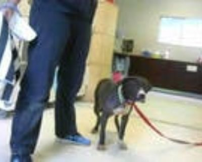 Adopt SHAGGY a Black - with White American Pit Bull Terrier / Mixed dog in