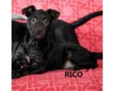 Adopt Rico a Black Labrador Retriever
