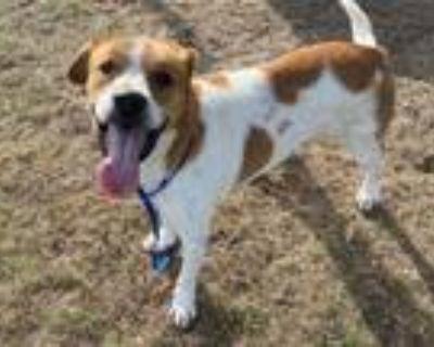 Adopt LAHMAR a Treeing Walker Coonhound, Beagle