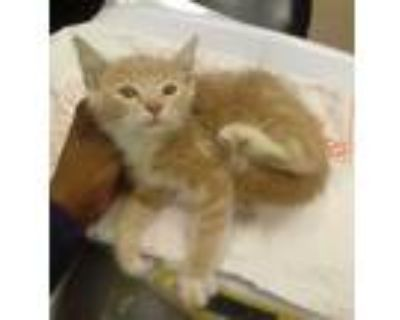 Adopt Nero a Cream or Ivory Domestic Shorthair / Domestic Shorthair / Mixed cat