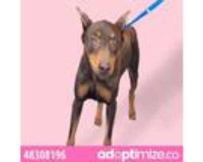 Adopt 48308196 a Doberman Pinscher, Mixed Breed