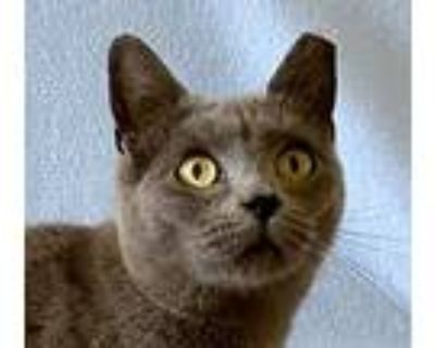 Teeny, Domestic Shorthair For Adoption In Manitou Springs, Colorado
