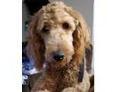 Adopt Penelope a Tan/Yellow/Fawn Goldendoodle / Mixed dog in Wichita