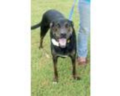 Adopt Casey a Catahoula Leopard Dog / Labrador Retriever / Mixed dog in