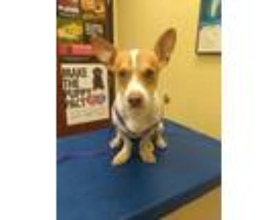 Adopt Wabbit a White - with Tan, Yellow or Fawn Corgi / Jack Russell Terrier /
