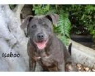 Adopt ISABOO a Pit Bull Terrier