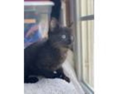 Adopt Inky a American Shorthair