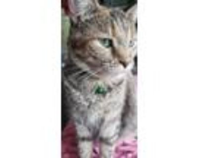 Adopt Highway a Tan or Fawn Tabby Domestic Shorthair (short coat) cat in