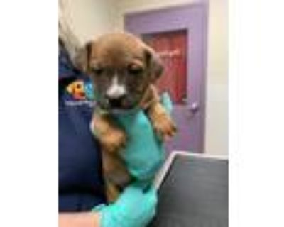 Adopt Waddle a Boxer / Staffordshire Bull Terrier / Mixed dog in Albuquerque