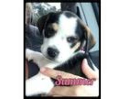 Adopt Summer - Foster / 2021 a Beagle, Rat Terrier