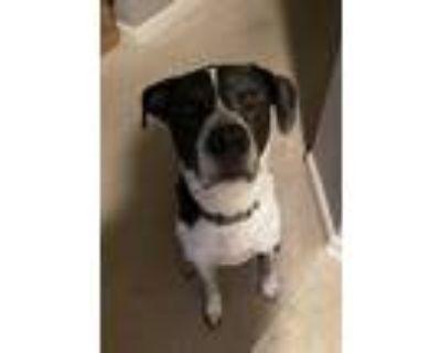 Adopt Petey~COURTESY POST~ a White - with Black Pointer / Labrador Retriever /