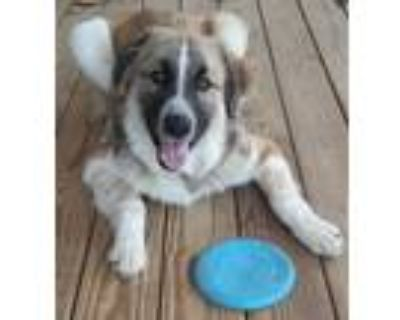 Adopt Ivar a Tricolor (Tan/Brown & Black & White) Great Pyrenees / Anatolian