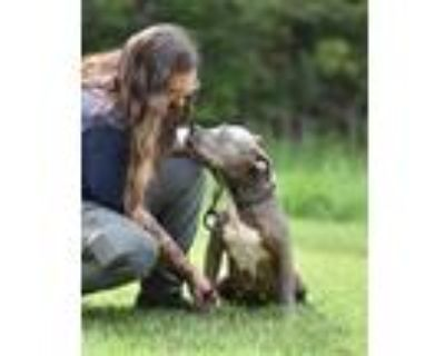 Adopt TIFFANY a Gray/Silver/Salt & Pepper - with White American Pit Bull Terrier