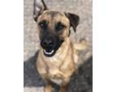 Adopt SHAGGY a Brown/Chocolate - with Black German Shepherd Dog / Mixed dog in