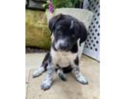 Adopt Codenames a Black - with White Blue Heeler / Catahoula Leopard Dog dog in