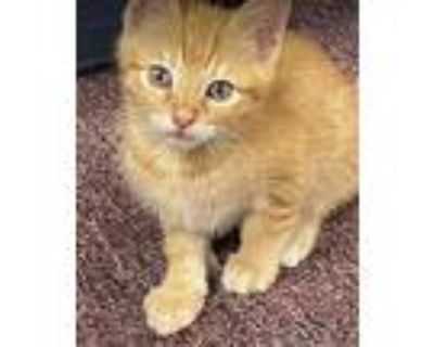 Cheeto, Domestic Shorthair For Adoption In Fort Worth, Texas