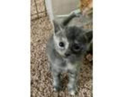 Adopt Posh Spice a Gray or Blue Domestic Shorthair / Mixed (short coat) cat in