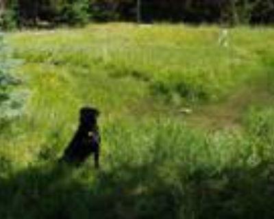 Adopt Samson a Black Labrador Retriever / Mixed dog in Scappoose, OR (32064300)