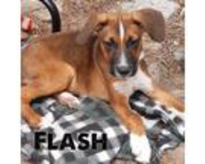 Adopt Flash a Brown/Chocolate - with Black Hound (Unknown Type) / Mixed Breed