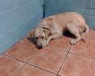 Adopt WILLA a Labrador Retriever