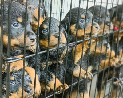 AKC Champion Line Purebred German Rottweiler Puppies