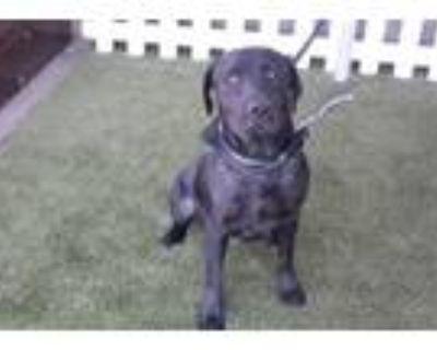 Adopt A553004 a Labrador Retriever