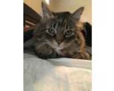 Adopt Jonesy a Gray, Blue or Silver Tabby Maine Coon / Mixed (long coat) cat in