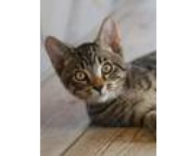 Adopt Jorge a Domestic Shorthair / Mixed (short coat) cat in North Fort Myers