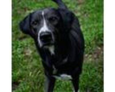 Adopt 21-075 Conner a Black Labrador Retriever