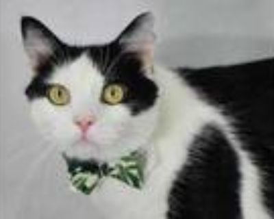 Adopt MG a White Domestic Shorthair / Domestic Shorthair / Mixed cat in