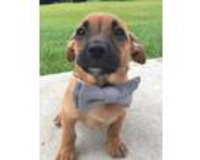 Adopt Bart a Brown/Chocolate - with Black Dachshund / Pit Bull Terrier / Mixed