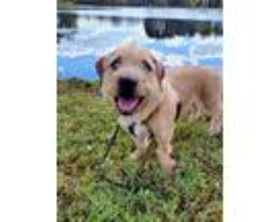 Adopt Dharma a Tan/Yellow/Fawn Norfolk Terrier / Basset Hound / Mixed dog in