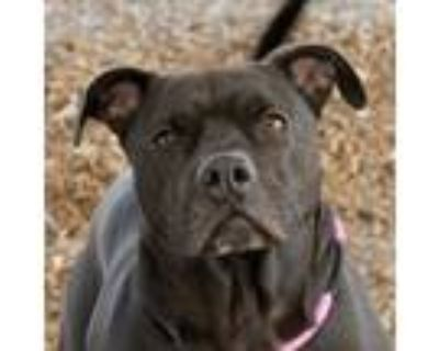 Adopt Foreman a Black - with White American Staffordshire Terrier / Mixed dog in
