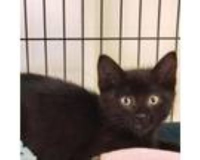 Adopt Angelo a All Black Domestic Shorthair / Mixed cat in Newport News