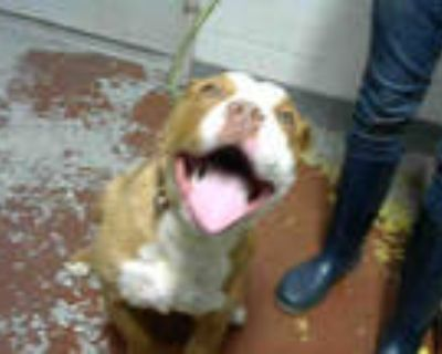 Adopt NEMO a Red/Golden/Orange/Chestnut American Pit Bull Terrier / Mixed dog in
