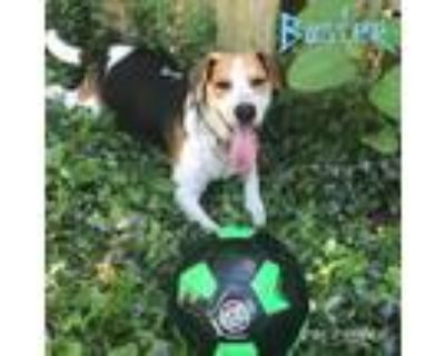 Adopt Buster a Tricolor (Tan/Brown & Black & White) Beagle / Jack Russell