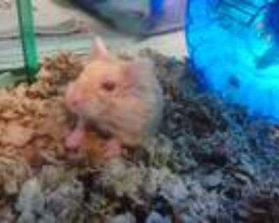 Adopt a Brown or Chocolate Hamster / Mixed small animal in Van Nuys