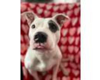 Adopt Asa a White - with Gray or Silver American Staffordshire Terrier / Pit