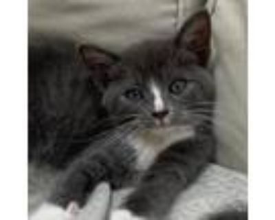 Adopt Percy a Gray or Blue Domestic Shorthair / Mixed cat in Cumming