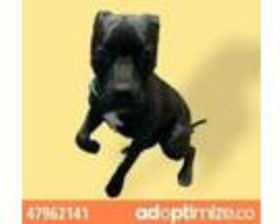 Adopt 47962141 a Brown/Chocolate Pit Bull Terrier / Mixed dog in El Paso