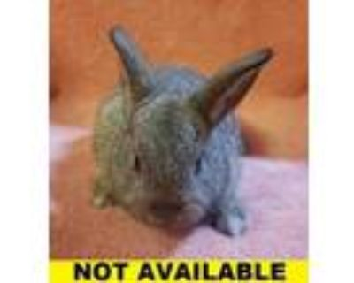 Adopt Attwell a Chocolate American / New Zealand / Mixed rabbit in Eugene