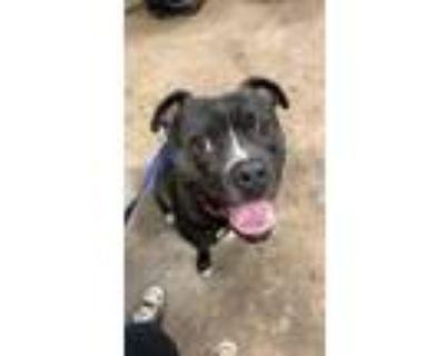 Adopt Rufus a Boxer, Labrador Retriever