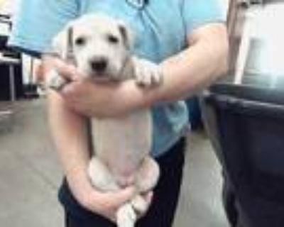 Adopt a White Labrador Retriever / Mixed dog in Phoenix, AZ (32068814)