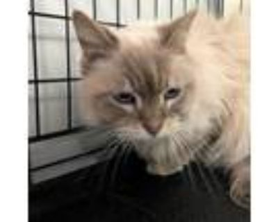 Adopt Kitty a Tiger Striped Siamese / Mixed cat in Hemet, CA (31438608)