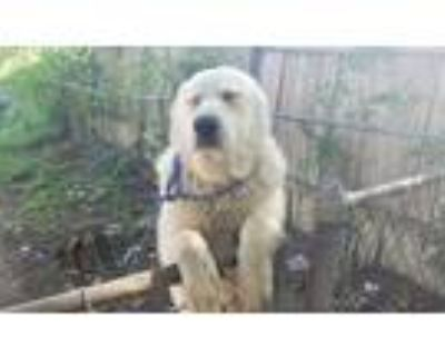 Adopt Jon Snow a White Great Pyrenees / Mixed dog in Fort Worth, TX (31287447)
