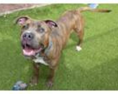 Adopt RUMBO a Pit Bull Terrier